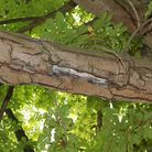 A diseased branch of a horse-chestnut tree on Parkway