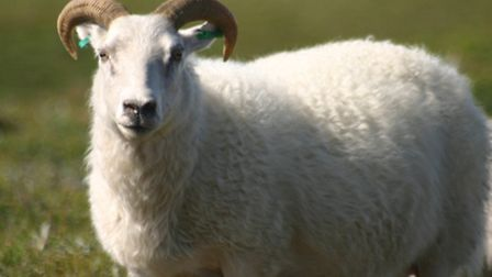 A ram, not Rambo ( from the Flickr account of biologyfishman)