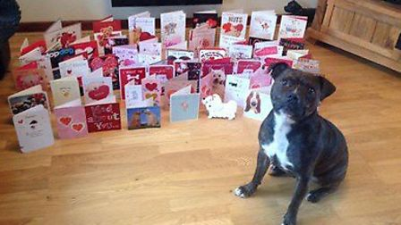 Bertie the Staffy with all his Valentine's cards.