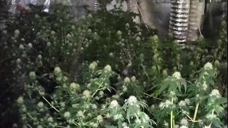 A cannabis factory was disocvered in the Murrow area. Picture: FACEBOOK WISBECH POLICING.