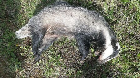 The RSPCA is appealing for information after a female badger was found caught in a snare in a remote