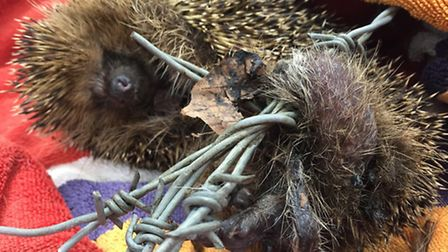 A hedgehog was put to sleep after it became trapped in barbed wire for days in Yaxley.