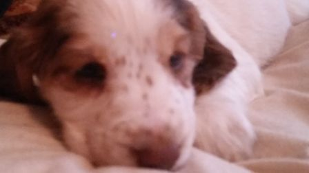 Dog and seven puppies stolen in Gayton this morning