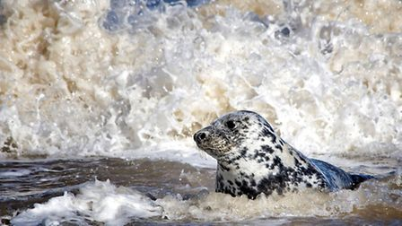 Atlantic Grey Seal by Judy Hodgson