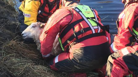 Fire crews rescue a sheep that had fallen into a river on March Road, Guyhirn.