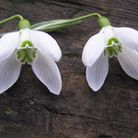 New 4x4 snowdrop - to be named in competition