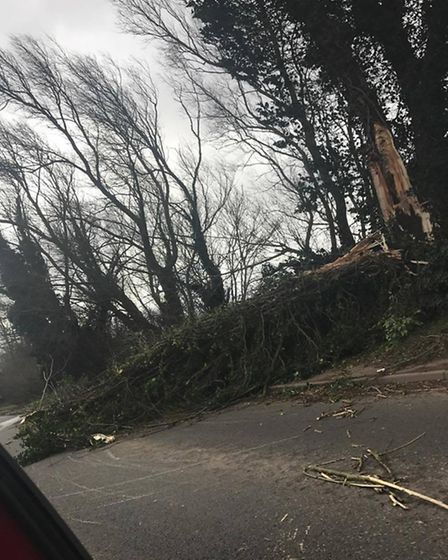 A tree that fall on a road about a mile from Stretham on Thursday (23). PHOTO: Daisy Brownlow.
