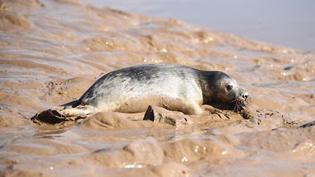 Six seal pups were released into the river at Sutton Bridge, by staff from the RSPCA East Winch Wild
