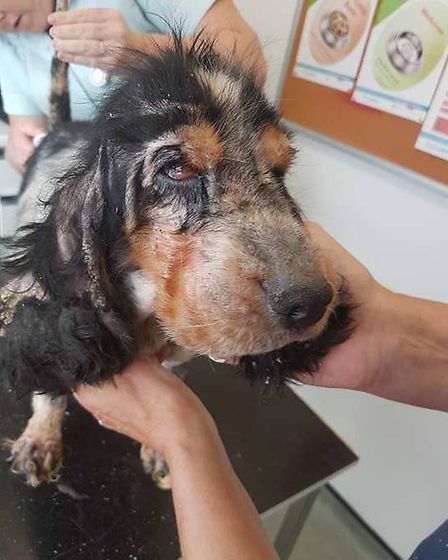 The cocker spaniel dumped in Tydd St Giles in the middle of the night. She is now being cared for by
