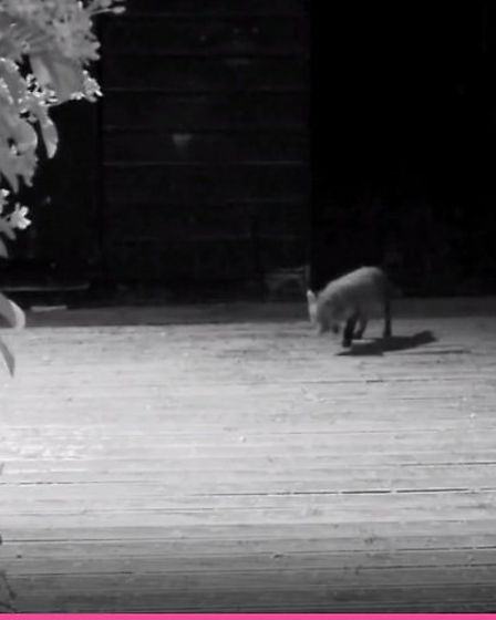 A fox cub captured by an infra-red camera.