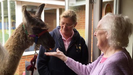 Pharaoh the Llama visits Lyncroft Care Home in Wisbech