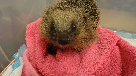 Suzanne's rescued hedgehogs. One of the rescued hedgehogs keeping warm.