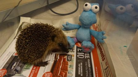 Suzanne's rescued hedgehogs.