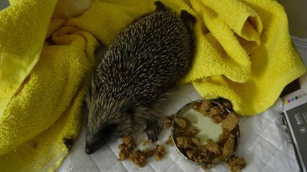 Suzanne's rescued hedgehogs. One of the hedgehogs eating mashed up cat food.