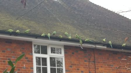 Jane Waters spotted these parakeets in Barleycroft, Welwyn Garden City, this morning at 8.15am. Pic