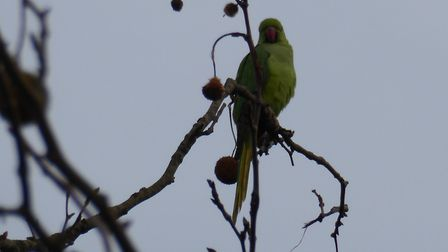 Gail Elliott, of Upper Green Road, Tewin, has been spotting parakeets out in her garden. Picture: G