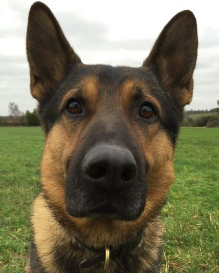 Oz the police dog who helped track down a Hatfield burglar. Picture: Hertfordshire Police Dog Unit.