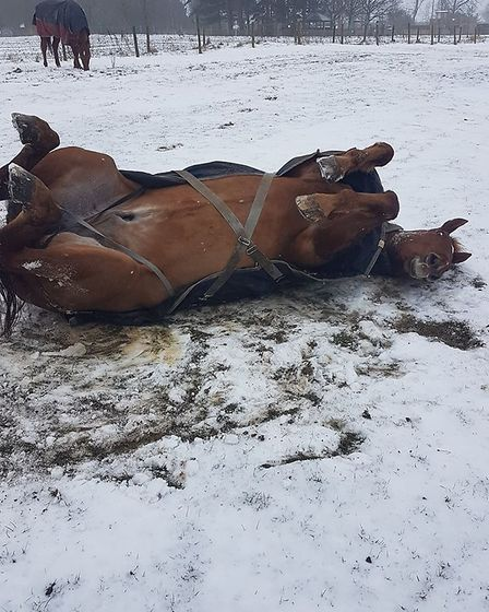 Ever seen a horse make a snow angel? Neither had we until Arnie in WGC got on the case. Picture: Sta