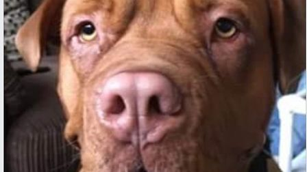 Mika the Dogue de Bordeaux who was on a special courier to her new owner in Wisbech St Mary