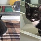 Kittens O'Malley and Toulouse are looking for a home together.