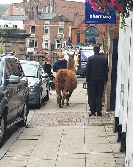 Just a lady walking her llama through Old Market #nothingtoseeherefolks with Faster Lente Llamas. Pi