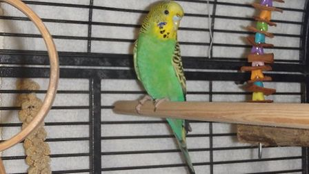 A budgie, now named Berry by the RSPCA, was left on a bus in Cambridge. PHOTO: RSPCA