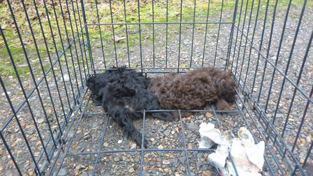 Two puppies were found by the RSPCA huddled asleep over the bodies of two dead puppies and trapped i
