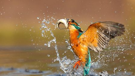 A Wisbech Camera Club entry of a Kingfisher in flight.