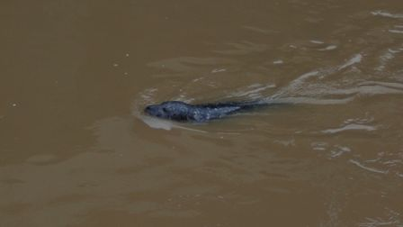 The-large-dark-grey-seal-was-s