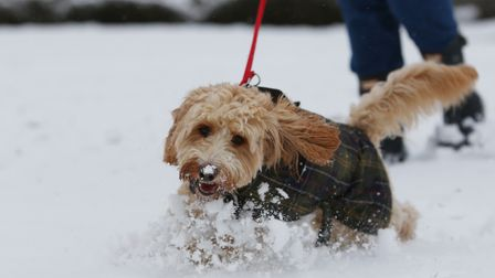 Buster the dog enjoying the snow in Welwyn Garden City town centre. Picture: DANNY LOO