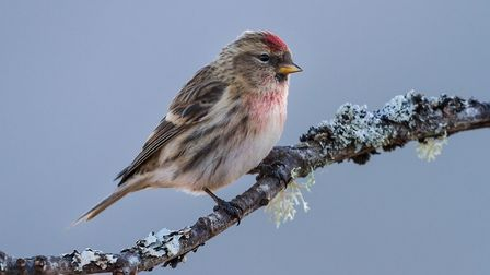 Redpoll by Neil Malton, past president of the Peterborough Photographic Society, who gave a talk to