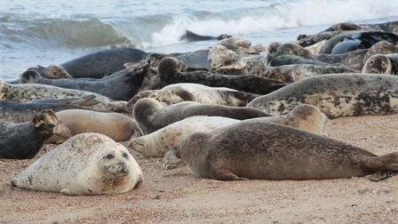 Seals on the beach at nearby Horsey. Picture: BELLE AIRE.
