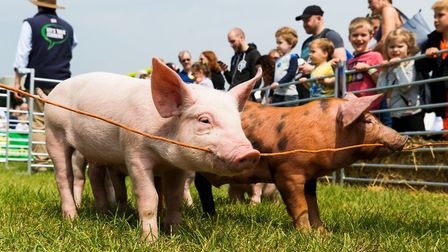 Piglet racing at Hertfordshire County Show. Picture: Richard Washbrooke