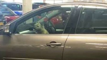 My dog was never trapped in a hot car, says owner. He said air conditioning had been on for an hour