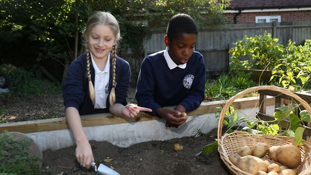 St John's School Digswell pupils Caitlyn Monk, eight and Alex Sewell, 10 dig up potatoes in the new