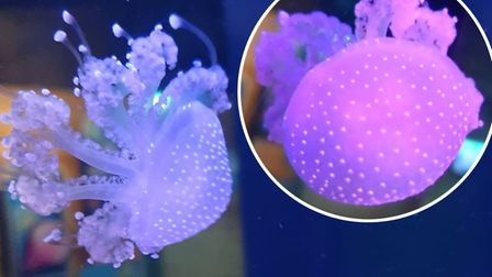 White spotted unusual jellyfish from Australia have arrived at SEA LIFE in Hunstanton. Picture: Supp