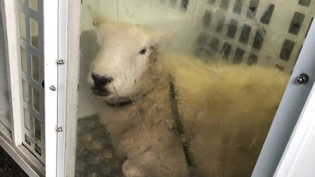 The sheep was put in the back of a police van after officers spotted it loitering at the side of the