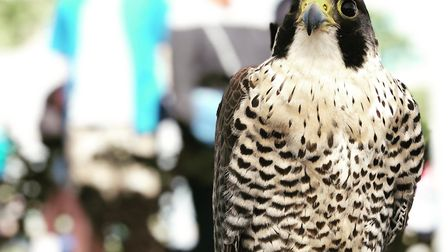 Fens Falconry exhibits its birds at public events around the country. The centre, in Wisbech St Mary