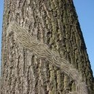 Unconfirmed sightings of oak processionary moth caterpillars have been reported in St Albans. Pictur