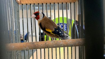This Goldfinch bird was found in a dumped carrier bag in Arles Avenue in Wisbech. Picture: Policing
