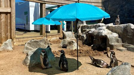 Humboldt penguins at the Sea Life centre in Hunstanton have been given their own private beach as lo