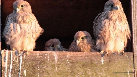 Four young Kestrel birds have been photographed leaving their Fenland nest. Picture: Bob Smith