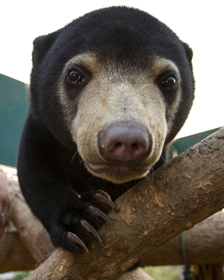 Mary the Sun Bear, now living at the Free the Bears Sanctury in Laos. Picture: BBC/Tom Jarvis