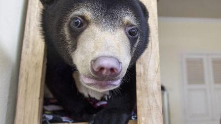Mary the Sun Bear in Bears About The House. Picture: BBC/Richard Mann