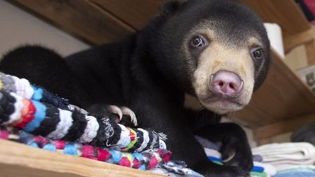 Mary the Sun Bear, shortly after being rescued from the illegal wildlife trade, in Bears About The H