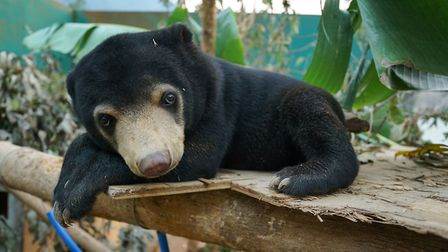Mary the Sun Bear, rescued from the illegal wildlife trade, at the Free The Bears Sanctuary in Laos