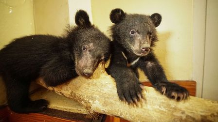 Moon Bear cubs David and Jane after being rescued from the illegal wildlife trade. Picture: BBC/Cher