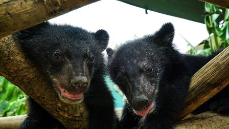 Moon Bear cubs David and Jane at the Free the Bears sanctuary in Laos. Picture: BBC/Cherique Pohl