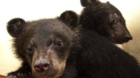 Moon Bear cubs David and Jane shortly after being rescued from the illegal wildlife trade. Picture: