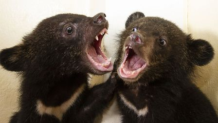 Moon Bear cub siblings David and Jane play fighting. Picture: BBC/Tom Jarvis
